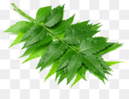 Neem Png And Neem Transparent Clipart Free Download