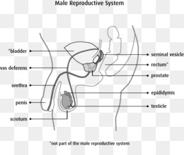 Male and Reproductive Systems Notes by Careers and Children as well Male And Reproductive System Worksheets   Teaching Resources in addition Worksheets Reproductive System Worksheet the Male besides STUDENT LEARNING OBJECTIVES besides The And Male Reproductive Systems System Worksheet 3 Answers additionally Label the Diagram Of the Male Reproductive System Beautiful Anatomy further STUDENT LEARNING OBJECTIVES as well Male Reproductive System Diagram Se11   Wiring Diagram G11 also  further  likewise The Male Reproductive System Worksheet Answers Templates as well Male   Reproductive System Diagram Label Worksheets additionally  moreover  further  together with Reproductive System Worksheet To Print   Free Educations Kids. on the male reproductive system worksheet