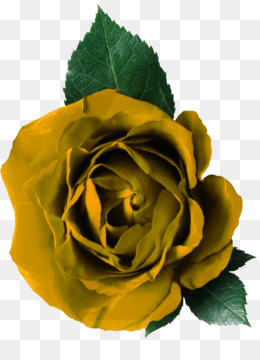 Yellow Rose Png Yellow Rose Transparent Clipart Free Download