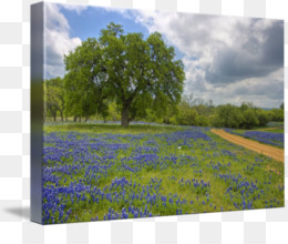 Bluebonnet Texas Hill Country Painting Art